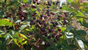 Black Elderberry (Sambucus Nigra) is full of antioxidants, vitamins C, A, B6, iron, potassium, flavonoids (quercetin, rutin), phenolic acid, mucilage, resin and anthocyanins, that contain immune stimulating properties. It brings the blood to the surface, bringing on the sweating, and helping your body to kill the virus.