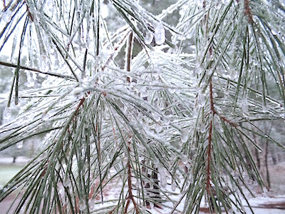 What do you do in the midst of Wisconsin's icy snow storm at the end of April? You cheerfully go outside and collect freshly frozen pine needle clusters that are glistening in a crystal clear armor of ice. You collect it all, pine needles and ice, as icy water is structured water. During freezing water molecules join together in a hexagonally structured single layer sheets, that are very beneficial for your body. It is known that the healthy cells are surrounded with structured water, and unhealthy ones are not. So that structured water is optimal for normal functioning of the cell. Pine needles are filled with goodness too. High in vitamin C (up to six times more that lemons, hey, Wisconsin can grow vitamins, right?), vitamins A, B and K. Tannins, resin and flavonoids plus chlorophyll and iron.