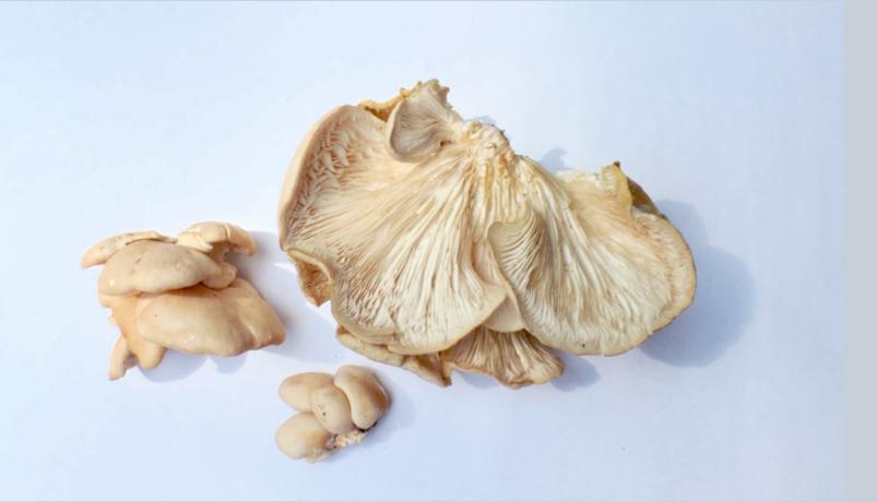 wild oyster mushroom
