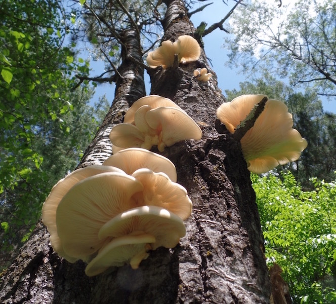 Presenting Wild Oyster Mushrooms! It is the middle of June in Northern Wisconsin, and we see them popping up everywhere! They grow with one flat side attached to the tree trunks of dead wood. Sometimes you have to look high. They lack the traditional mushroom stem, and have gills underneath the cap. Their smell resembles anise, and it is one of the main clues. Mushrooms are whitish yellow in color and can grow quite large, so just watch out for competitors inside, insects love to eat them too!