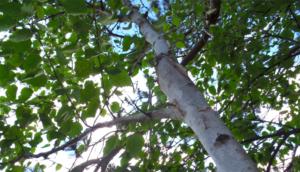 birch benefits