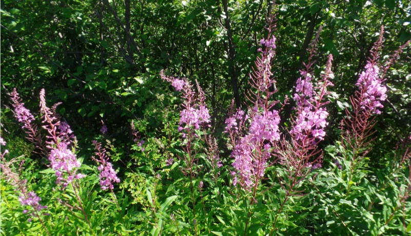The history of fireweed tea goes back to XII century. It is said that it used to be more valuable then gold or fur. It was called Russian tea and was exported to England, Denmark, Germany and France. People used the fresh young leaves in salads, and dried leaves were part of bread dough. Russians came up with the idea of fermenting the plant. It is done by crushing the leaves until they juice, and leaving them overnight to ferment. Then they are quickly dried in the oven or sun. The fermentation helps to intensify all the biologically active ingredients.