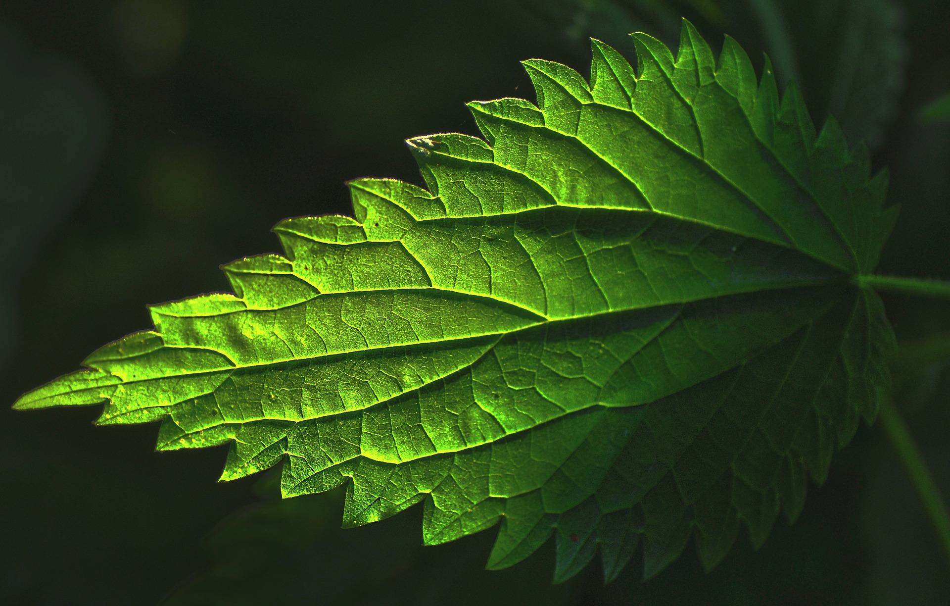 nettles herbal tea benefits