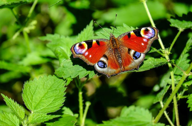 peacock butterfly nettles