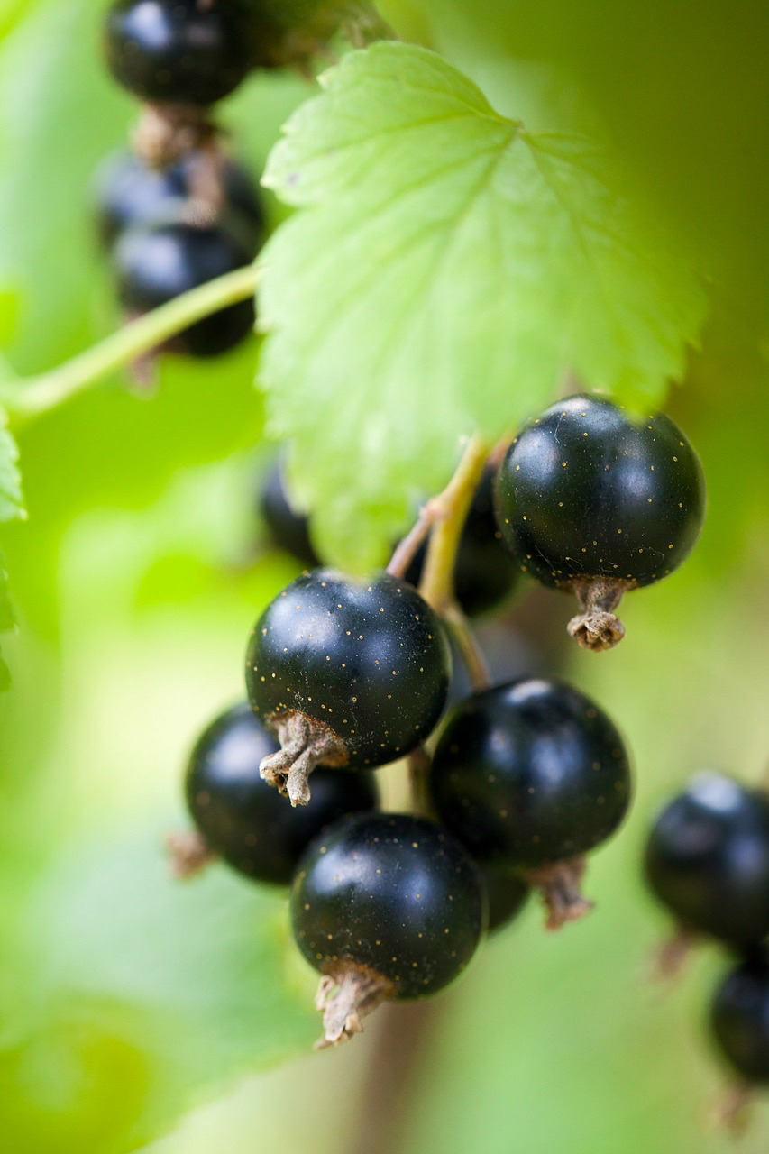 black currant herbal tea health benefits