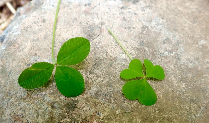 clover and wood sorrel